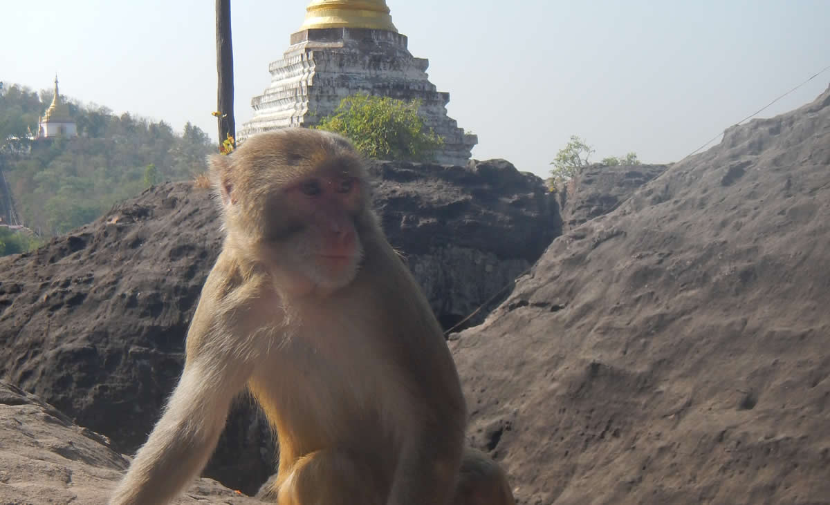 Golden Monkey at Phowin Taung